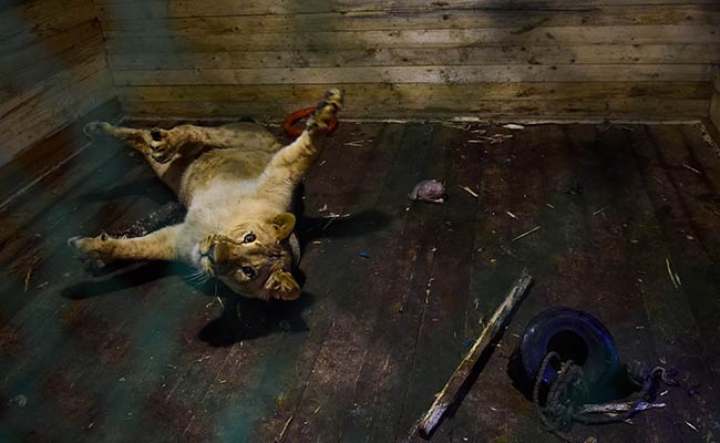 Runaway Lion, Wounded Elk, Dozens Of Bear Find Home At A Russian Shelter