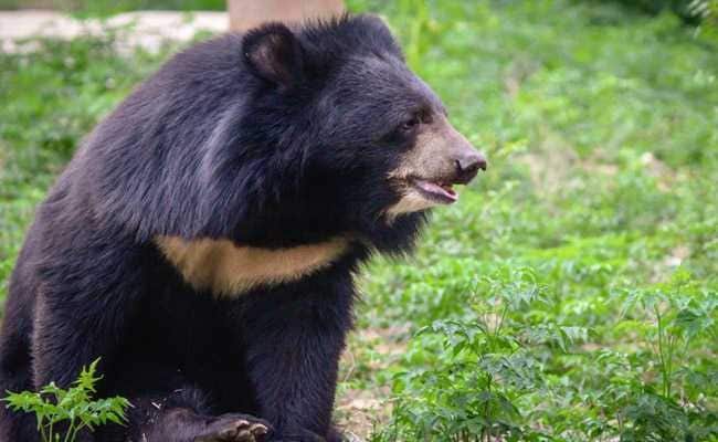 Pet Bear Kills Caretaker; Neighbours Heard Him Scream For Help, Say Cops