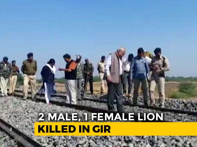 Video : Three Asiatic Lions Run Over By Goods Train In Gir