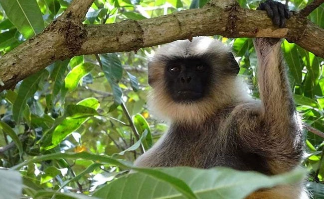 Six men arrested after video shows them eating endangered monkey, report says