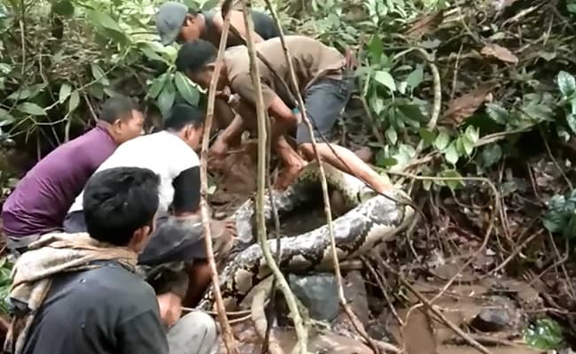 A Million Views For This Video Of Man Wrestling A Python. Watch