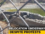 Video : On Relocating 300 Crocodiles From Statue Of Unity, A Warning From Activists