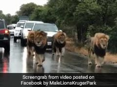 In Scary Viral Video, Four Lions Take Over Busy Road