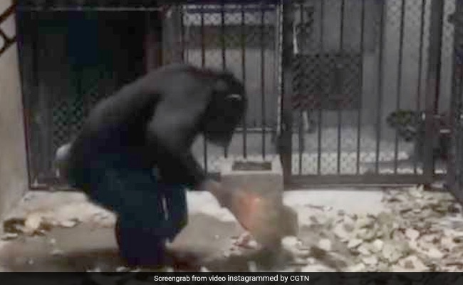 In Adorable Clip, Chimp Imitates Breeders, Cleans Her Enclosure