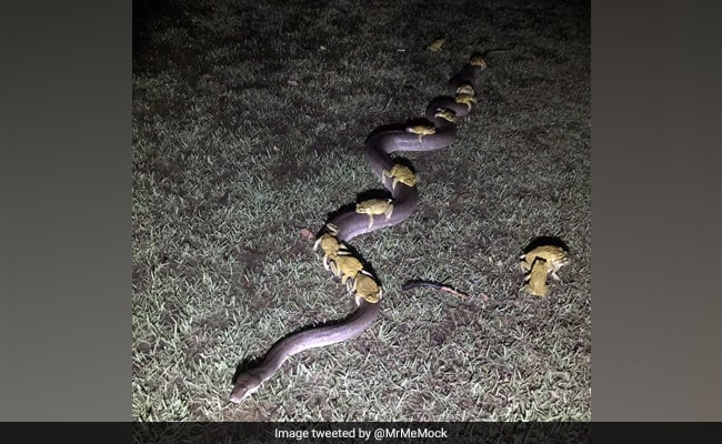 Bizarre Viral Pic Shows Toads 'Hitching A Ride' On Python's Back