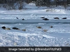 Seals On Roads, At Front Doors...: A Canadian Town Faces Marine Invasion