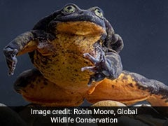 World's Loneliest Frog, Romeo, Finds A Date In Juliet