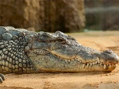 "Man Escapes From ""Cunning"" Crocodile By Sticking Thumb Into Its Eye"