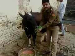 """""""Cow Cess"""" Is Yogi Government's Idea To Tackle Stray Cattle In UP"""