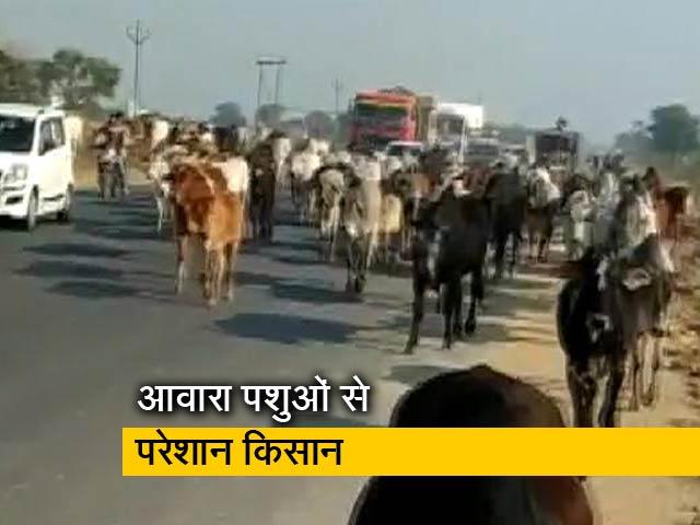Videos : फिरोजाबाद : फसलों की बर्बादी से परेशान किसानों ने हाईवे पर छोड़े आवारा पशु