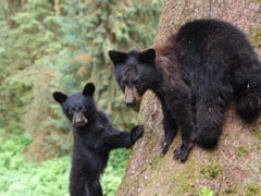 Father-Son Shot Bear, Cubs, Threw Body. Wildlife Camera Helped Solve Case