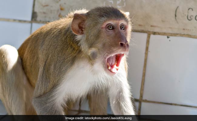 UP Woman Falls From Terrace After Monkey Attack, Dies