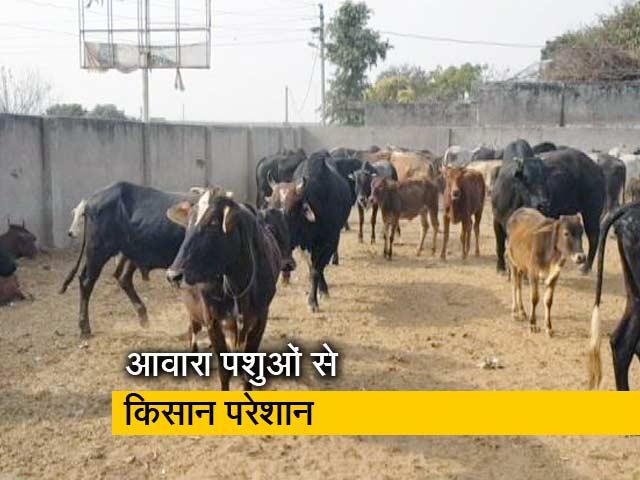 Videos : परेशान किसानों ने आवारा पशुओं को प्रधान के घर में किया बंद