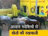 Video : दिन-रात आवारा मवेशियों से खेतों की रखवाली