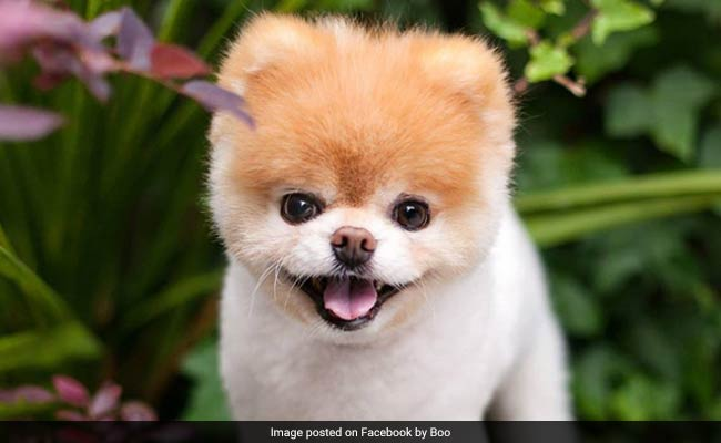 World's Cutest Dog Dies. 'Broken Heart' Likely Reason, Say Owners