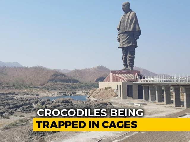 Video : Crocodiles Near Statue Of Unity To Be Relocated For Tourist Safety