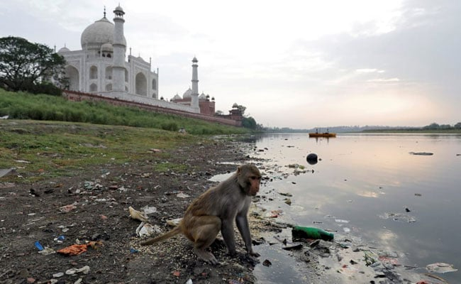 Police At Taj Mahal Take Aim At Troops Of Monkeys With Slingshots