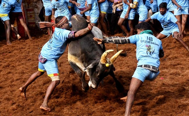 Jallikattu Spectator Dies Of Heart Attack, Several Bull Tamers Injured