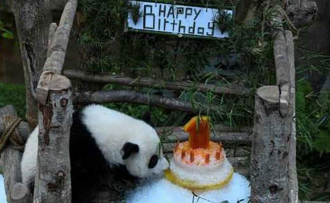 Panda Celebrates First Birthday In Malaysian Zoo With An Ice Cake