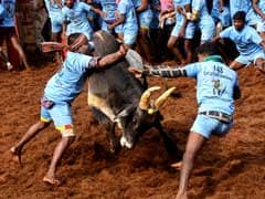 32 Injured In Bull-Taming Sport Jallikattu In Tamil Nadu's Madurai