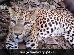 Runaway Leopard Returns To Bengal Wildlife Park After Escape
