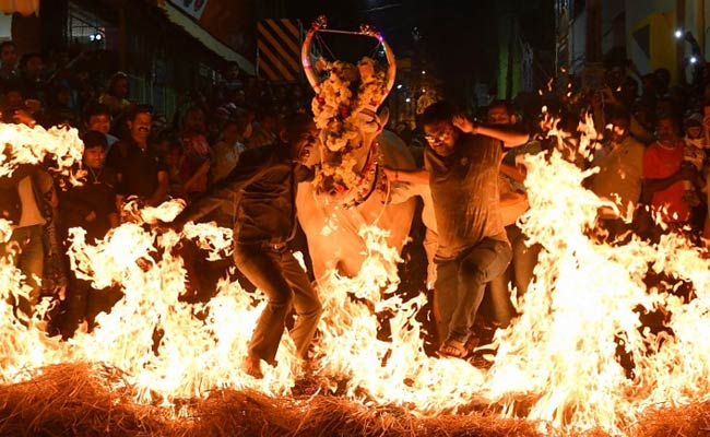Cows Walk On Fire During Makar Sankranti Celebrations In Bengaluru