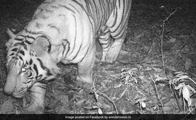 In A First, Royal Bengal Tiger Caught On Camera In Sikkim