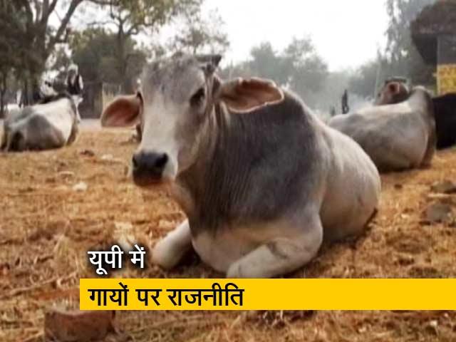 Videos : गाय पर सियासत, गांव वाले परेशान