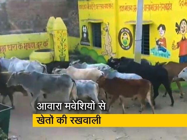 Videos : दिन-रात आवारा मवेशियों से खेतों की रखवाली
