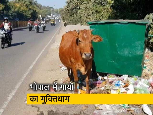 Videos : मध्य प्रदेश के भोपाल में गायों का पहला श्मशान घाट