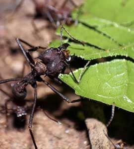 Construction Without Coordination: How Ants Build Megaprojects