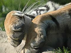Tigress Found Dead In Maharashtra, Officials Suspect Poisoning As Cause