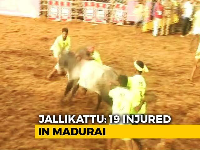 Video : 19 Injured At Jallikattu Event In Tamil Nadu. 1,000 Bulls At Mega Fest