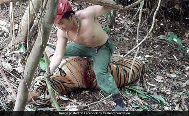 Poacher 'Punches' Blood-Covered Tiger In