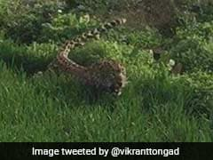 Leopard Found Hiding Behind Wall In Greater Noida, Attacks Boy