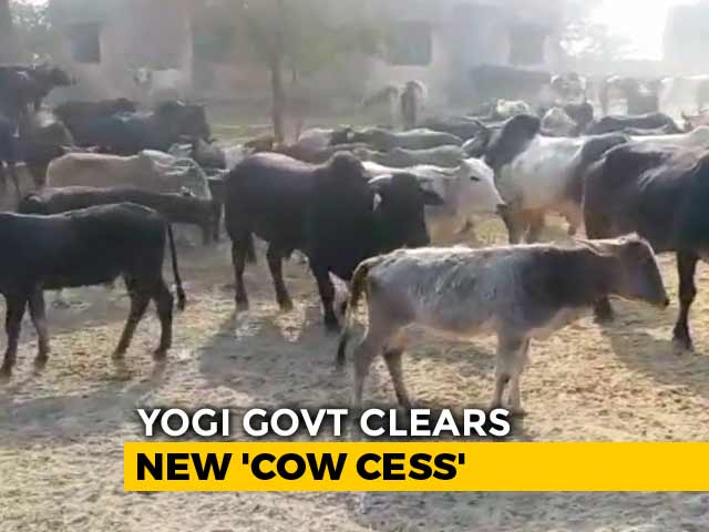 "Video : ""Cow Cess"" Is Yogi Government's Idea To Tackle Stray Cattle In UP"