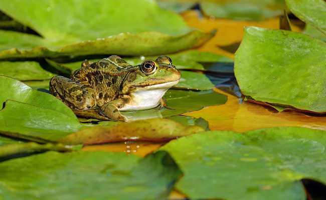 Frog Calls Can Help Improve Radio Communication, Study Shows
