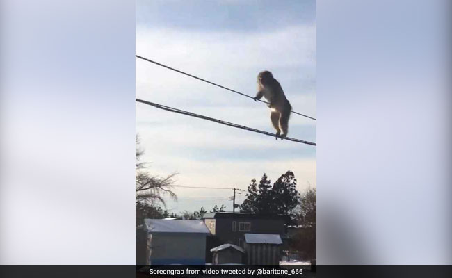 Watch: Daredevil Monkeys Go Viral For High-Wire Balancing Act