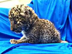 Leopard Cub Smuggled From Bangkok To Chennai. Watch Airport Staff Feed It