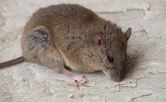 This Rodent Is First Mammal Made Extinct By Climate Change: Researchers
