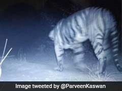 Now Confirmed, Tiger Spotted In Gujarat After 3 Decades