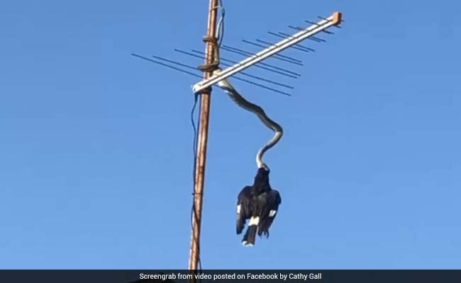 Python On TV Antenna Eats Bird. Viral Video Will Give You The Chills