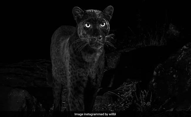 29d65e6bc2 These Black Leopard Photos Are Awesome - But Definitely Not First In 100  Years