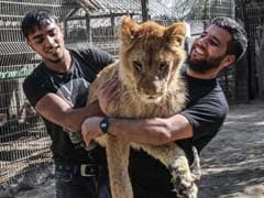 This Zoo Will Let Visitors Play With A Lion, Declawed