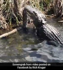 Video: In Terrifying Alligator Vs Python Fight, The Winner Is...