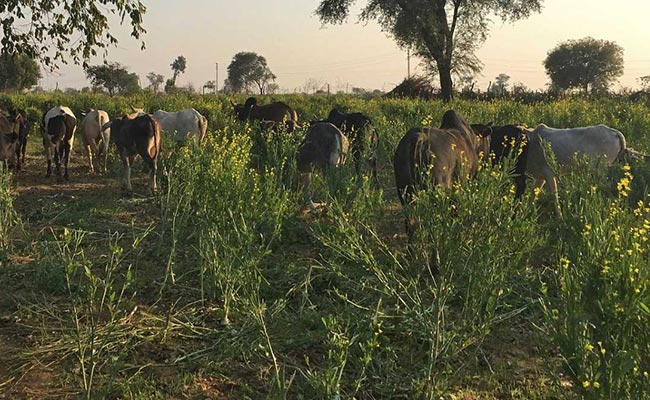 In Yogi Adityanath's Budget No. 3, A Significant Mark Up For Cow Welfare