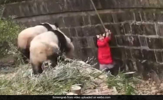 Girl Falls Into Panda Enclosure In Heart-Stopping Video