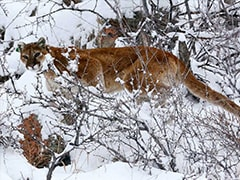 Colorado Jogger Fends Off, Kills Mountain Lion On Rural Trail