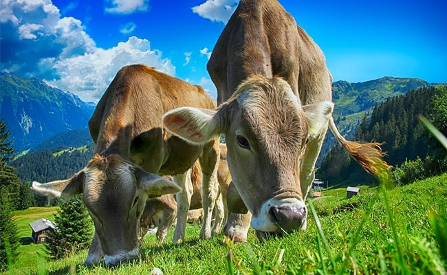 'Moo Love': Cows Get Their Own Tinder-Style App For Breeding