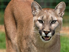 Woman Breaking Up 'Dog Fight' Accidentally Grabs Mountain Lion
